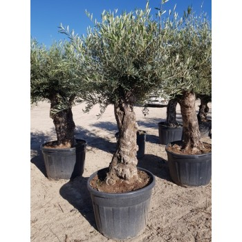 Olea bonsai mini 50/80 130/180 lt