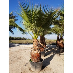 Washingtonia Filifera Tr 100/120