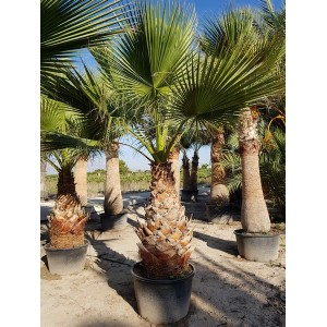 Washingtonia Filifera Tr 120/140