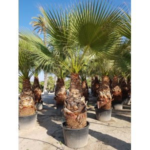 Washingtonia Filifera Tr 140/160