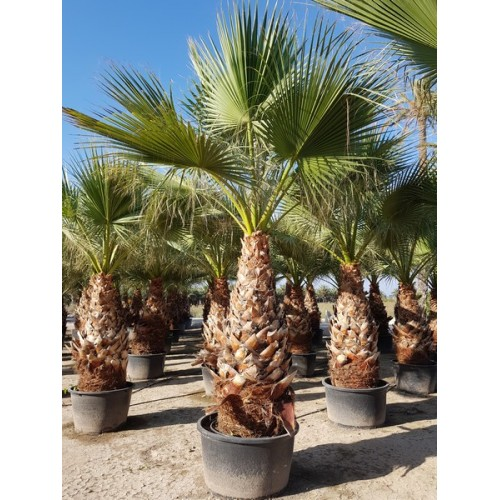 Washingtonia Filifera Tr 180/200