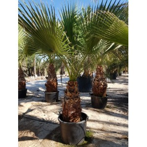 Washingtonia Filifera Tr 80/100