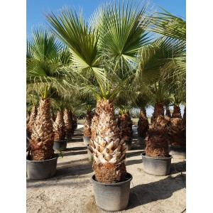 Washingtonia Filifera Tr 160/180