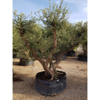 Olea tronco viejo natural CTM