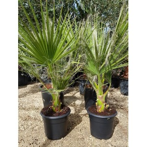 Washingtonia Filifera 10 lt