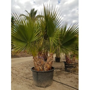 Washingtonia Filifera Multi tronco 160/230 lt
