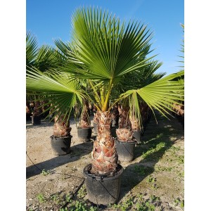 Washingtonia robusta tronco 60/80 70/90 lt -5*/-8*