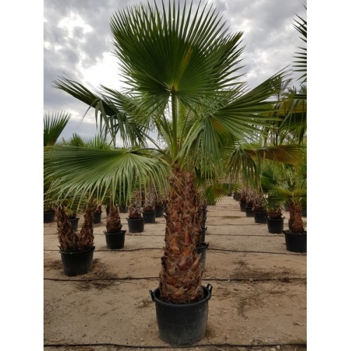 Washingtonia robusta tronco 120/140 90/110 lt -5*/-8*