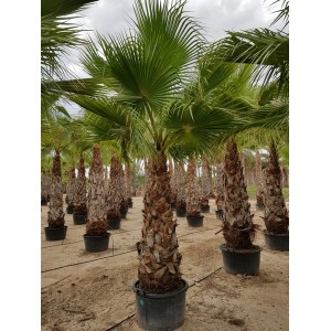 Washingtonia robusta tronco 140/160 90/110 lt -5*/-8*