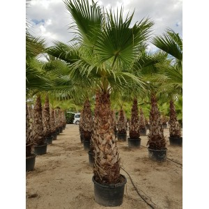 Washingtonia robusta tronco 160/180 110/130 lt -5*/-8*