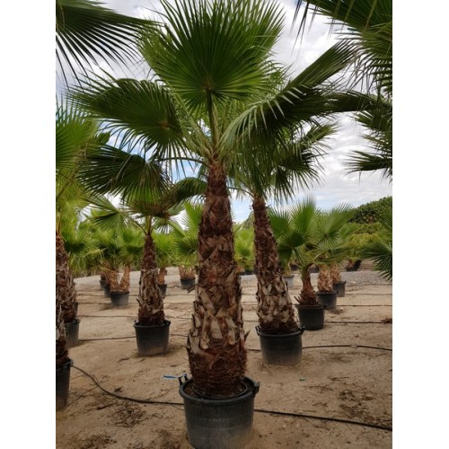 Washingtonia robusta tronco 180/200 110/130 lt -5*/-8*