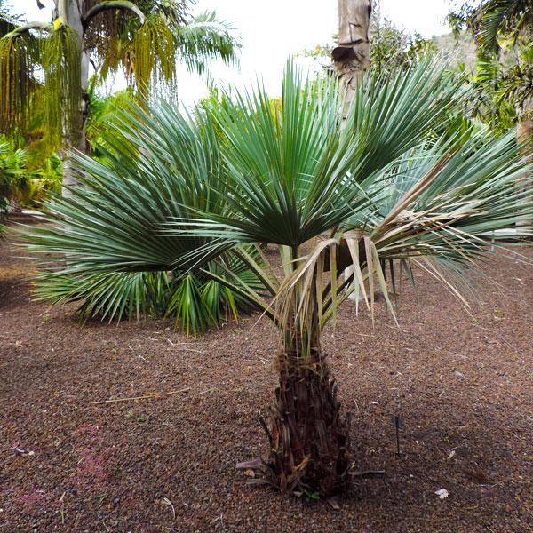 palmiers sun plantes viveros s l. Black Bedroom Furniture Sets. Home Design Ideas
