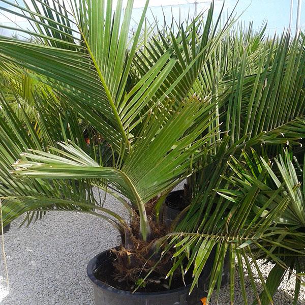 jubea-chilensis-o-palmera-de-chile