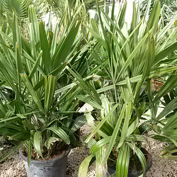 rhapidophyllum-Hystrix-o-palmera-cerdo-épic