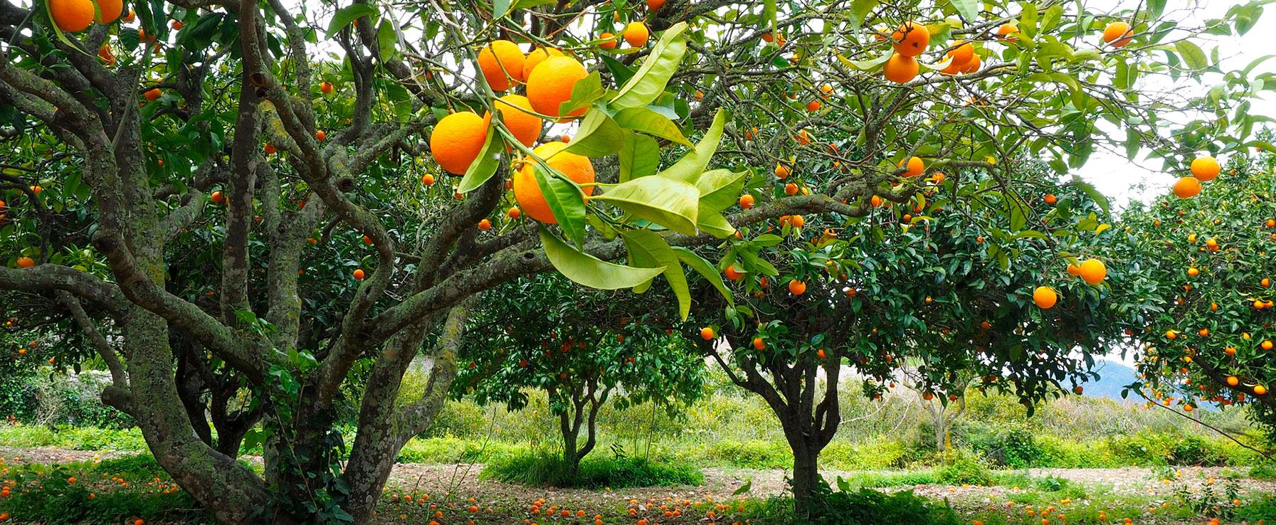 Frutales sun plantes viveros s l for Arboles frutales para jardin